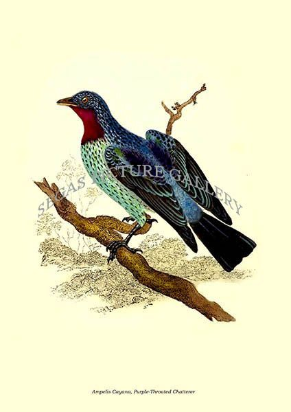 Fine art print of the Ampelis Cayana, Purple-Throated Chatterer by Edward Donovan (1823)