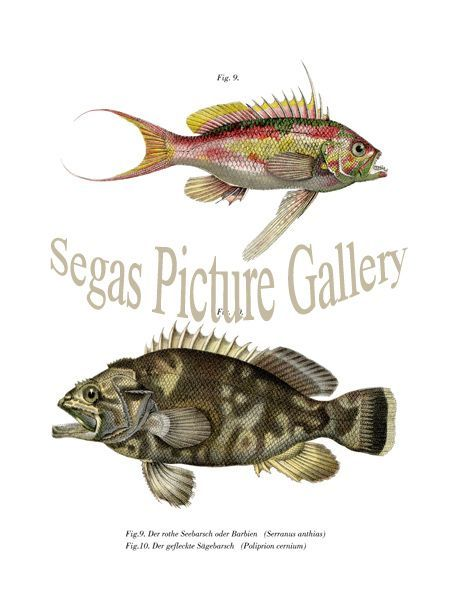 Fine art print of the red sea bass or Barbie, The spotted seabass