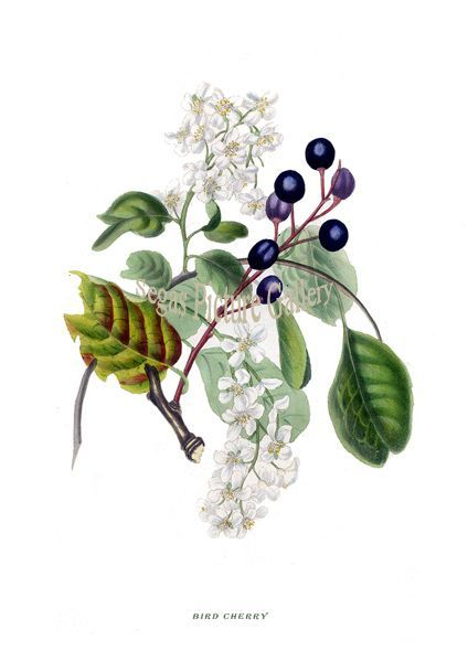 Fine art print from the Spirit of the Woods by Rebecca Hey 1837 of the BIRD CHERRY