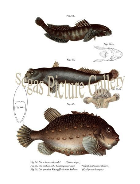 Fine art print of the black goby, The amboinische Snake Springer, The common Klumpffisch or lumpfish