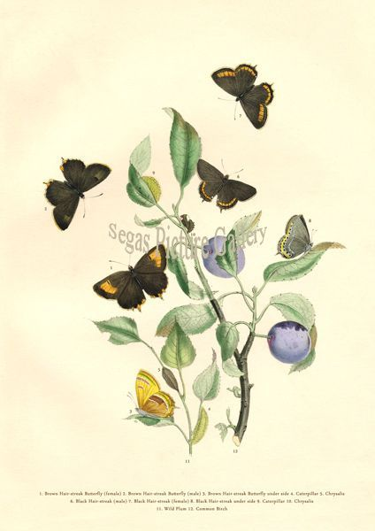 Fine art print of Brown Hair-streak Butterfly by Westwood & Humphreys (1841)