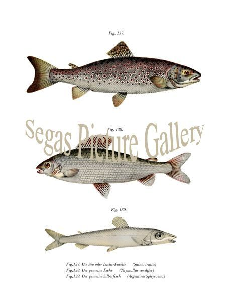 Fine art print of the Brown Trout, Grayling, Lesser Argentine