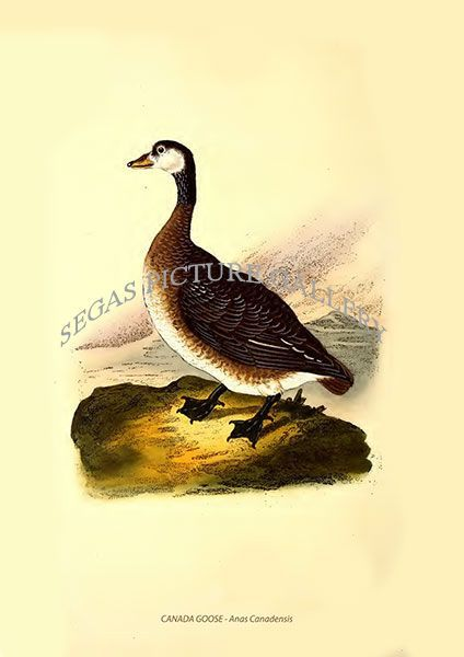 Fine art print of the CANADA GOOSE - Anas Canadensis by Edward Donovan (1819)