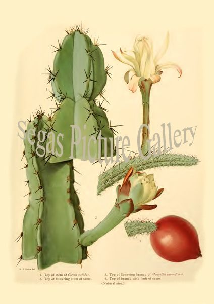 Fine art print from the Cereus validus - Monvillea cavendishii