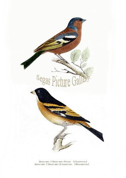 Fine Art Print of the Chaffinch & Brambling