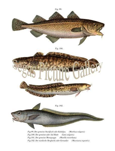 Fine art print of the Cod Fish, Burbot, Three Bearded Rockling, Roundnose Grenadier Fish