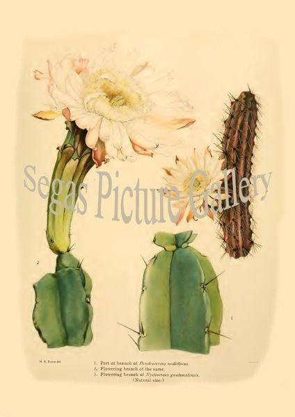 Fine art print from the Dendrocereus nudiflorus - Nyctocereus guatemalensis