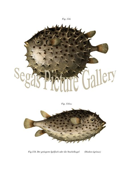 Fine art print of the Diodon tigrinus, Puffer or Porcupine Fish