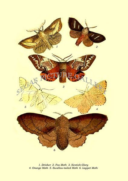 Fine art print of the Drinker, Fox Moth, Kentish Glory, Orange Moth, Swallow-tailed Moth, Lappet Moth by E. Smith,T. W. Woods, W. S. Coleman (1870)