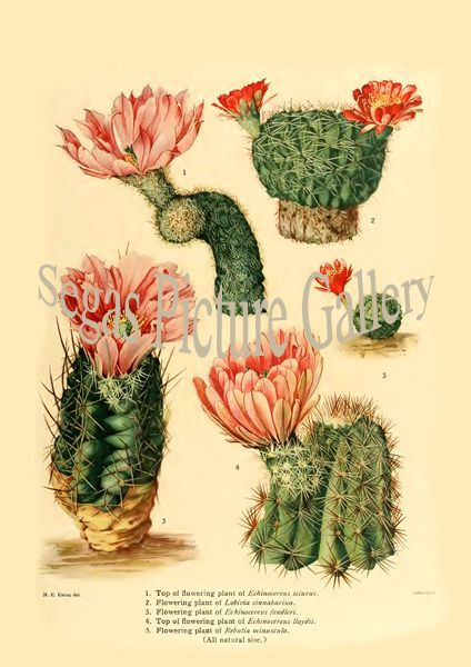 Fine art print from the Echinocereus sciurus - Lobivia cinnabarina - Echinocereus fendleri - Echinocereus lloydii - Rebutia minuscula