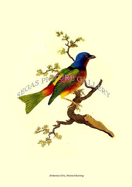 Fine art print of the Emberiza Ciris, Painted Bunting by Edward Donovan (1823)