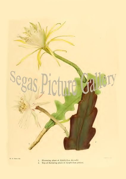 Fine art print from the Epiphyllum darrahii - EpiphyUum pittieri