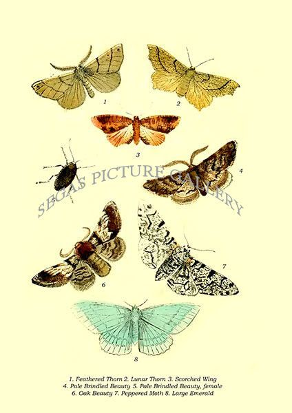 Fine art print of the Feathered Thorn, Lunar Thorn, Scorched Wing, Pale Brindled Beauty, Pale Brindled Beauty by E. Smith,T. W. Woods, W. S. Coleman (1870)