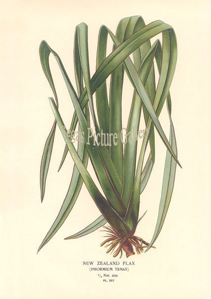 Fine art print of New Zealand Flax by D Bois