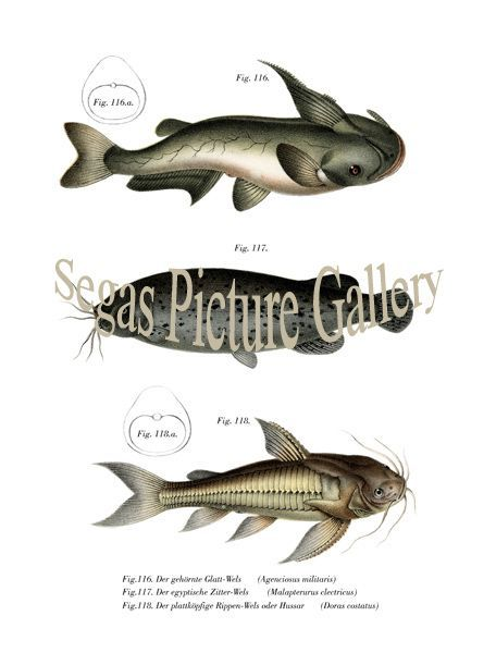 Fine art print of the Horned Glatt Wels, Egyptian dither Wels, The flat heads fin catfish or Hussar