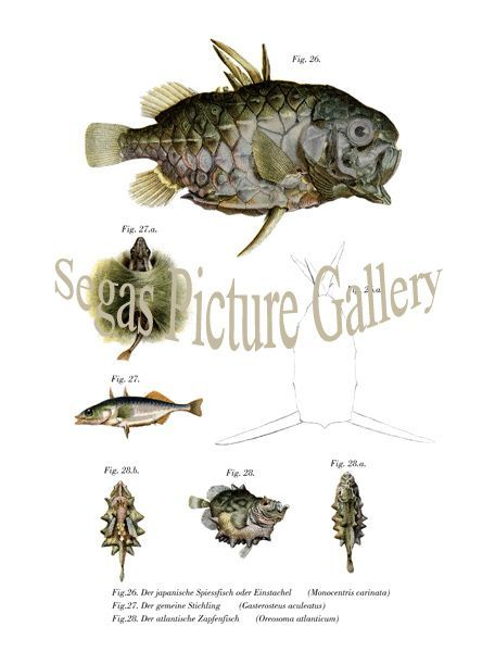 Fine art print of the The Japanese skewers fish or a sting, The common stickleback, The Atlantic journal Fish
