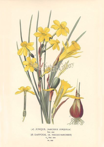 Fine art print of Jonquil Daffodil by D Bois
