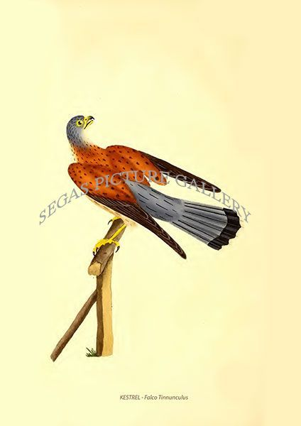 Fine art print of the KESTREL - Falco Tinnunculus by Edward Donovan (1796)