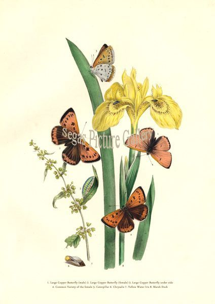 Fine art print of Large Copper Butterfly by Westwood & Humphreys (1841)