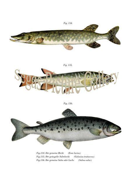 Fine art print of theNorthern Pike and Atlantic Salmon