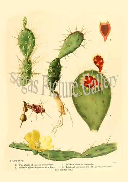Fine art print from the Opuntia drummondii - Opuntia retrorsa - Opuntia triacantha - Opuntia jamaicensis - Opuntia jamaicensis