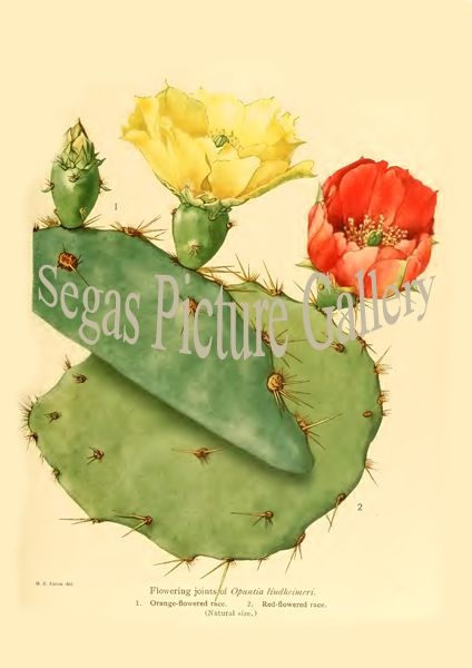 Fine art print from the Opuntia lindheimeri