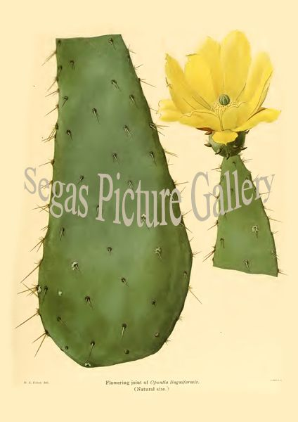 Fine art print from the Opuntia linguiformis