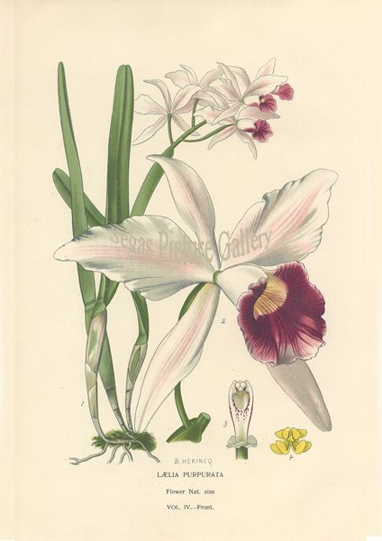 Fine art print of Orchid by D Bois