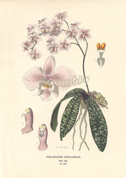 Fine art print of Orchid Phalaenopsis Schilleriana by D Bois