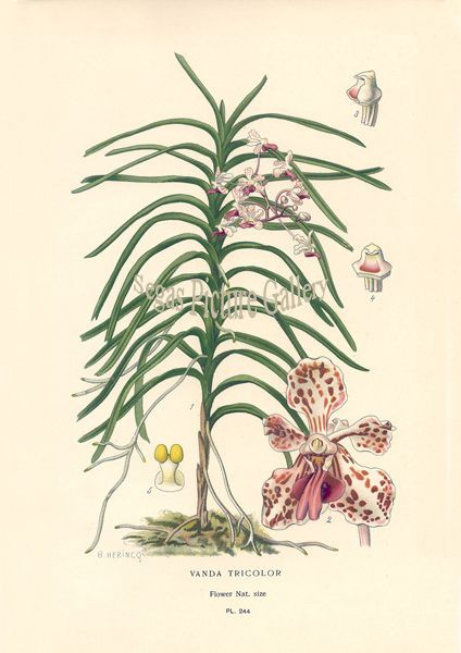 Fine art print of Orchid Vanda Tricolor by D Bois