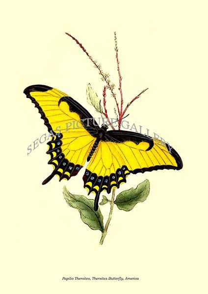 Fine art print of the Papilio Thersites, Thersites Butterfly, America by Edward Donovan (1823)