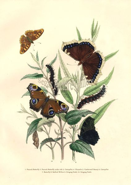 Fine art print of Peacock Butterfly by Westwood & Humphreys (1841)