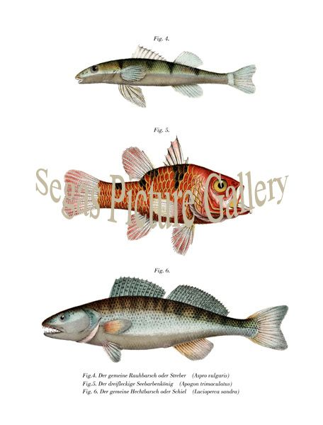 Fine art print of the Freshwater and Pike Pearch, Cardinal Fish