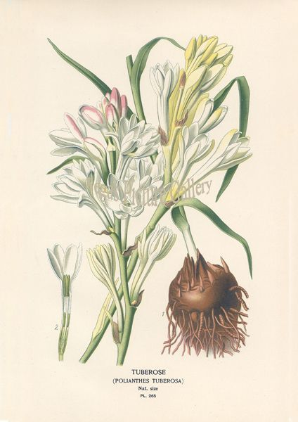 Fine art print of Tuberose by D Bois
