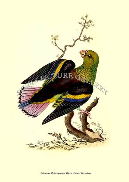 Fine art print of the Psittacus Melanopterus; Black Winged Parrakeet by Edward Donovan (1823)