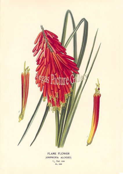 Fine art print of Flame Flower by D Bois