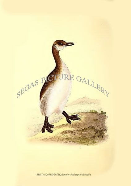 Fine art print of the RED THROATED GREBE, female - Podiceps Rubricollis by Edward Donovan (1819)