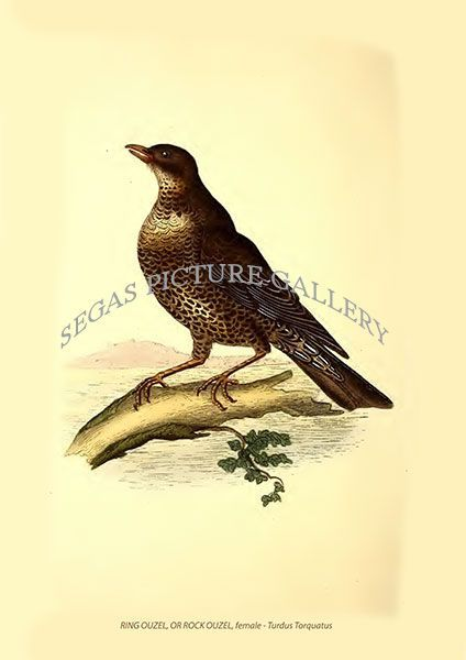 Fine art print of the RING OUZEL, OR ROCK OUZEL, female - Turdus Torquatus by Edward Donovan (1819)