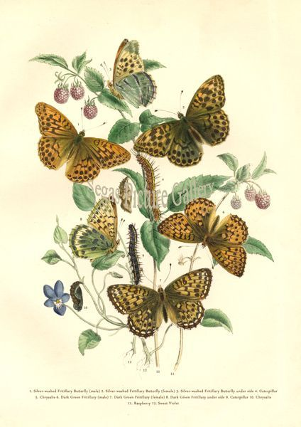 Fine art print of Silver-washed Butterfly by Westwood & Humphreys (1841)