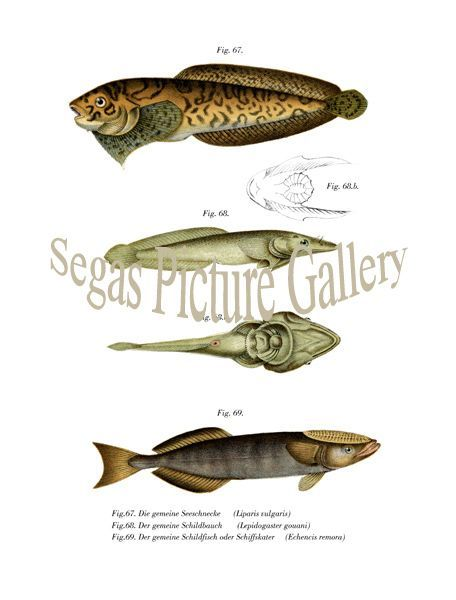 Fine art print of the common snail, The base plate belly, The base plate of fish or boat Kater