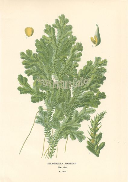 Fine art print of Selaginella Martensii by D Bois