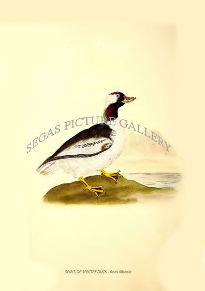 Fine art print of the SPIRIT, OR SPECTRE DUCK - Anas Albeola by Edward Donovan (1819)