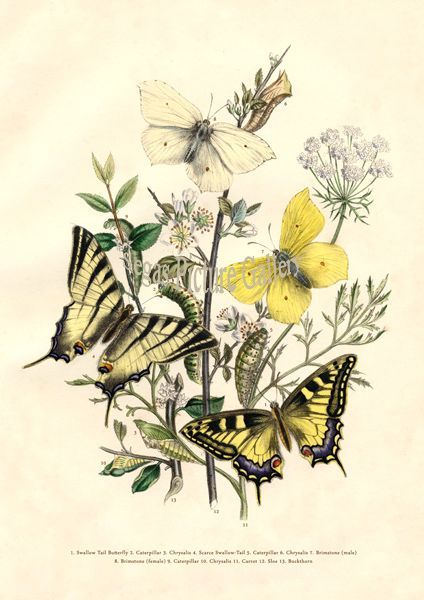 Fine art print of Swallow Tail Butterfly by Westwood & Humphreys (1841)