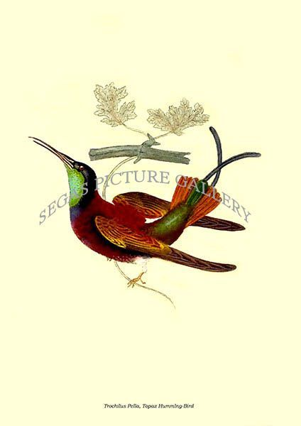 Fine art print of the Trochilus Pella, Topaz Hummlng-Bird by Edward Donovan (1823)